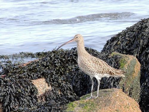 Curlew | by Gerard Knight