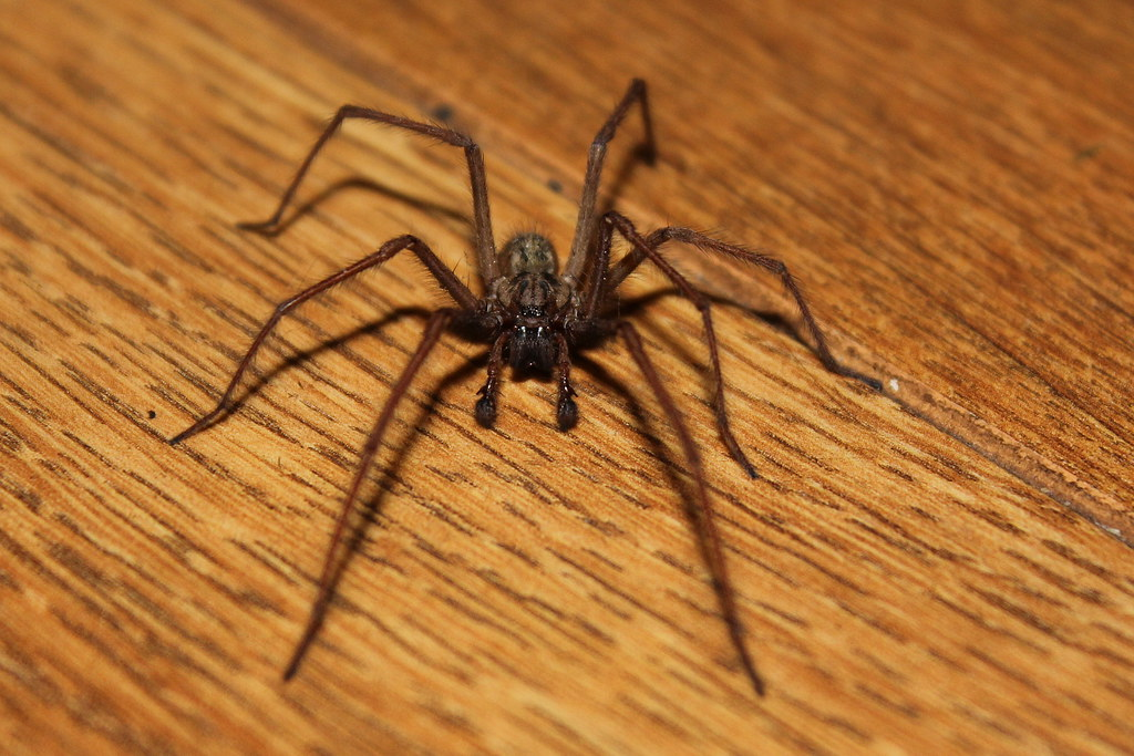 Common House Spider 7 Legs Eeeek Jumped A Bloody