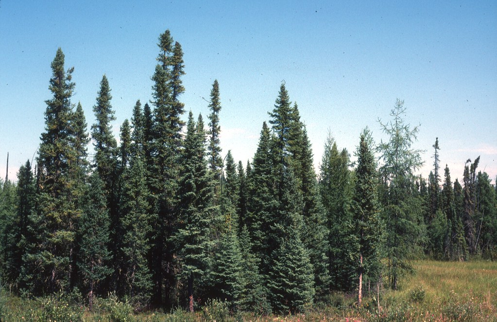 spruce black dating site Environmental-mediated relationships between tree growth of black spruce and abundance of spruce  the statistical cross-dating between individual standard.
