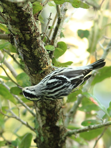 Black-and-white Warbler 2-20120924 | by Kenneth Cole Schneider