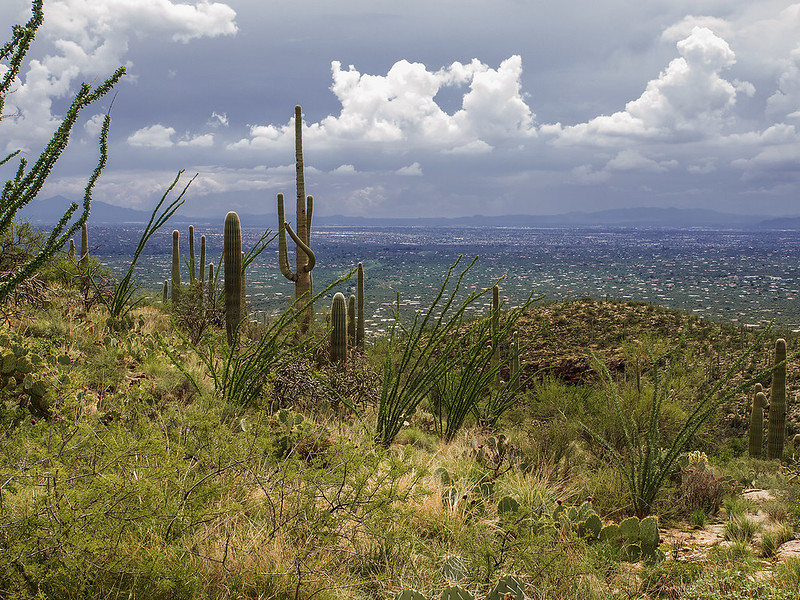 Saguaro cactus on the mountain overlooking Tucson, Arizona