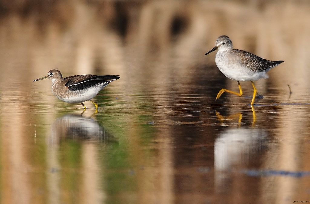 Differences Between 8 5 And 10 5 Quot Solitary Sandpiper Vs