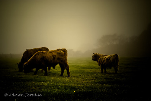 explore - Bulls in the Morning Mist | by Iamamanc