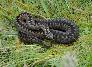 D300247 European Adder | by Nick Sidle