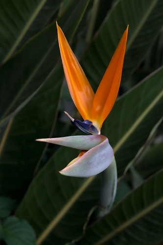 Bird of paradise...with rabbit ears | by ~Liz.