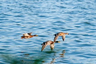 Ducks Flying Low on Lake Decatur | by Sally Van Natta