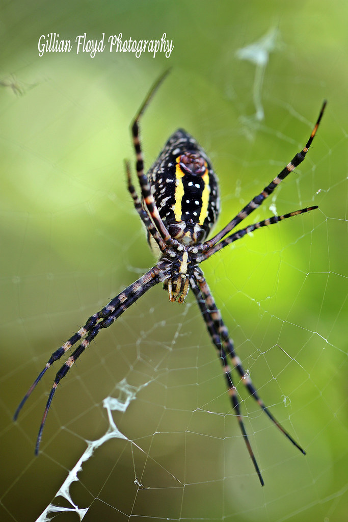 Black and yellow garden spider argiope aurantia also kno flickr for What does a garden spider look like