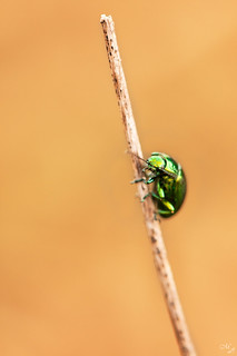 Chrysolina herbacea [EXPLORE] | by Luca Mayro