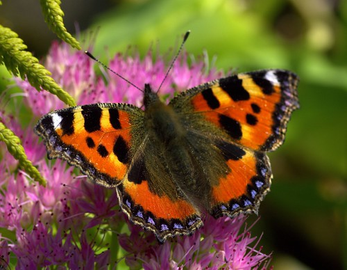 Small Tortoiseshell | by Chrissie28IWish! ~ hubby passed away 5th Dec peace
