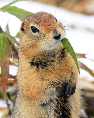 Arctic Ground Squirrel | by Critter Seeker