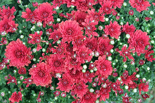 Red Fall Mums In Colour | by Chrisser