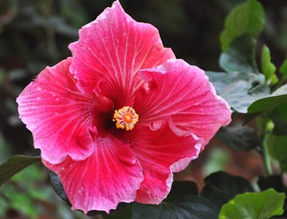 Deep Pink Hibiscus Flower | by PL Tandon (Thanks for 5.3 Million+ views)