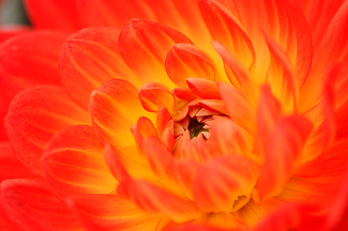 Red and Yellow Dahlia | by _Maji_