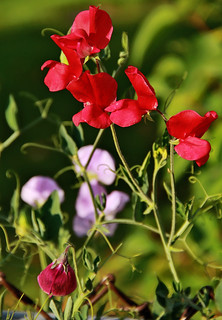 Three Colours of Sweet Peas | by LostMyHeadache: Absolutely Free *