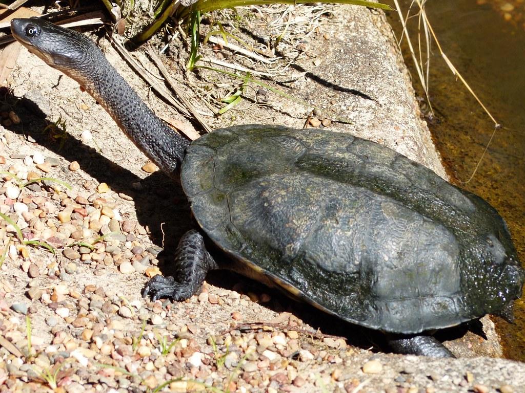 Long necked turtle australian reptile park central coast nsw