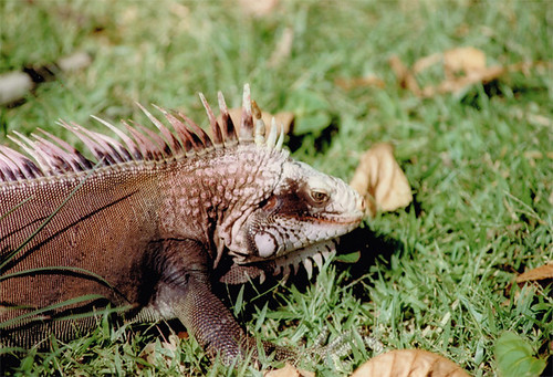 Iguana's roamed St. Thomas | by MyLastBite