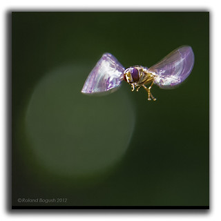 Reflection sunlight on the wings of a hoverfly | by Roland Bogush