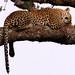 Leopard Sleeping  (Panthera pardus)