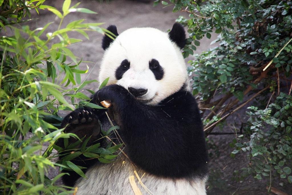 Yun Zi Love Bamboo 03 San Diego Zoo Yun Zi The Giant