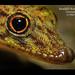 Kendall's Rock Gecko Close-up