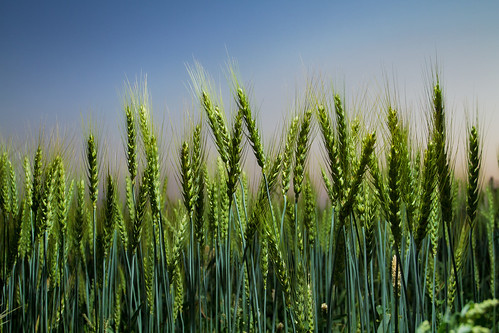 Improved wheat growing in Pakistan | by CIMMYT