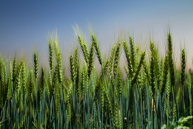 Improved Wheat Growing In Pakistan Flickr Photo Sharing