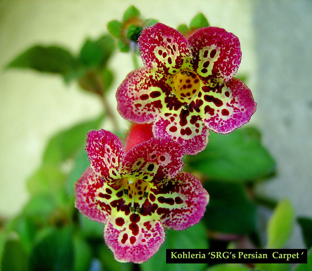 Kohleria Srg S Persian Carpet Huge Blooms With