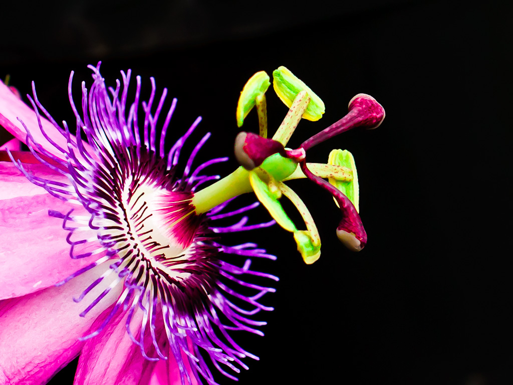 Pink Passion Fruit Flower Bunga Markisa Maksima Mrvicova