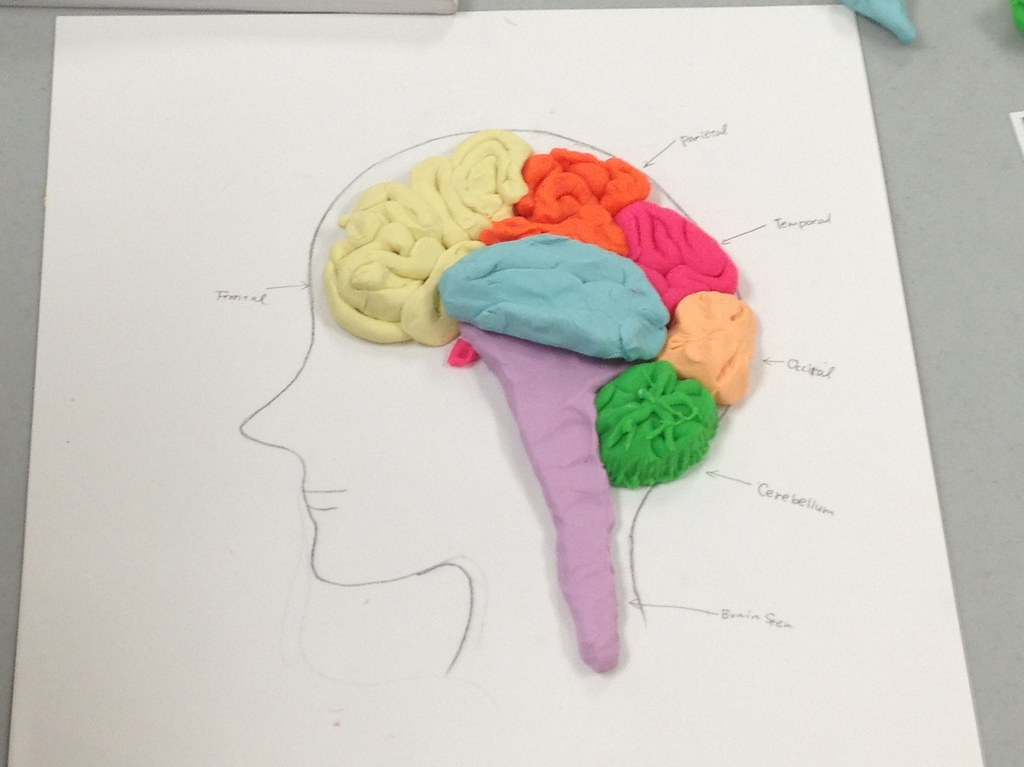 Students sculpting the brain in my anatomy and physiology … | Flickr