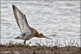 Colourful Godwit stretching | by madstinger