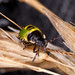 Common Green Shieldbug Nymph.