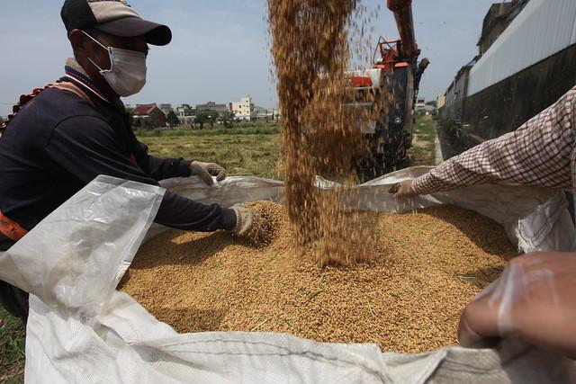 2012.08新竹香山地區受到重金屬汙染的農地,雖然經過整治並已解除管制,但是部分稻田所生產的稻穀,還是超過安全標準,因此必須進行銷毀。 照片來源:柯金源