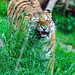 Tiger gnawing grasses