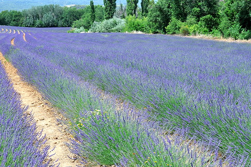 Lavender Fields Near Roussillon, Provence | by Cathy Chaplin | GastronomyBlog.com