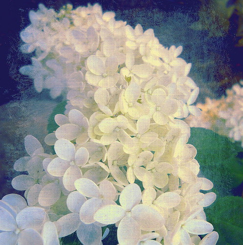 Hydrangeas | by A. Walden