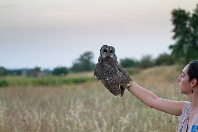chouette hulotte strix aluco tawny owl flickr