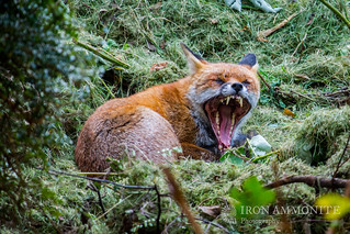 Monstrous Fox shows his fearsome side and why he's called 'Fangs!' - photo taken from our dinner table! | by Paul Williams www.IronAmmonitePhotography.com