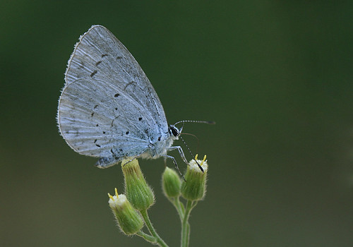 Mariposa - Celastrina argiolus | by rio en medio - Jose On/Off
