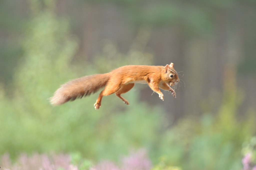 red jump fly squirrel - photo #37