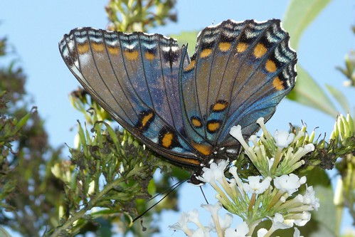 Red-spotted Purple | by Shawn Wainwright