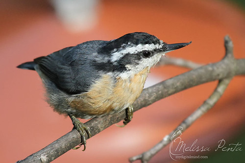 Red-breasted Nuthatch | by Melissa Penta