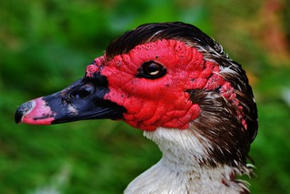 Muscovy Duck | by Paula J James