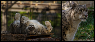 Snow Leopard Diptych | by QuikSink