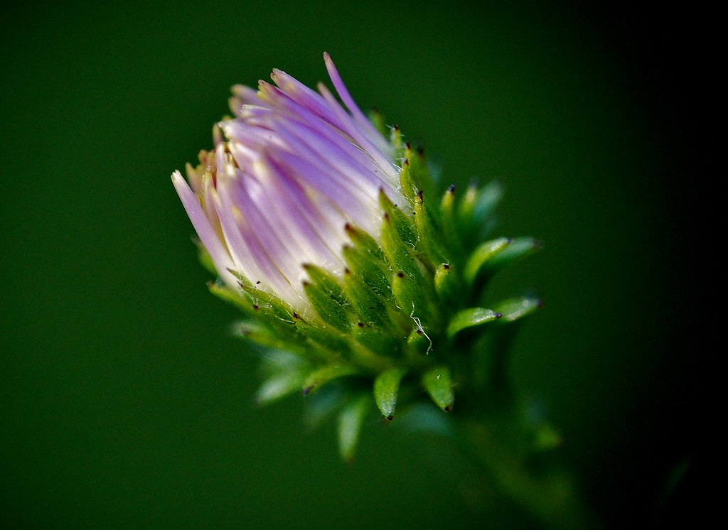 The Age Of Innocence In The Carl S English Jr Botanical Flickr