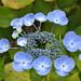 Un jardín de hortensias (3)