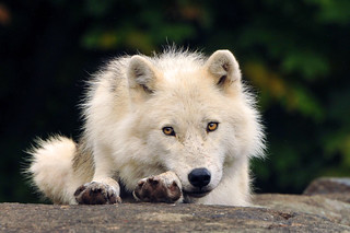 An Artic Wolf | by affinity579