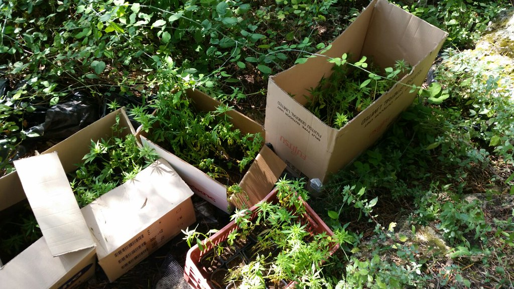 Πάργα: Φυτώριο κάνναβης με 381 δενδρύλλια, σε δύσβατη περιοχή