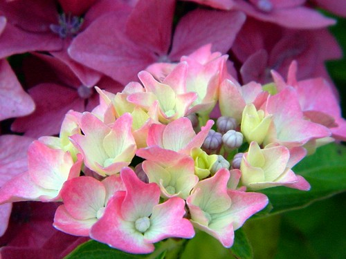 Hydrangeas | by careth@2012