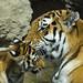 Tiger cub and mom