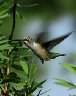 humming bird | by jojomomof4